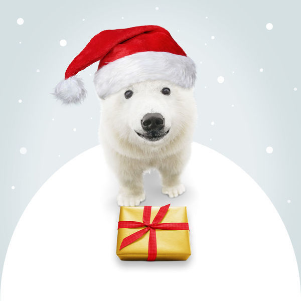 Polar Bear, wearing Christmas hat with Christmas