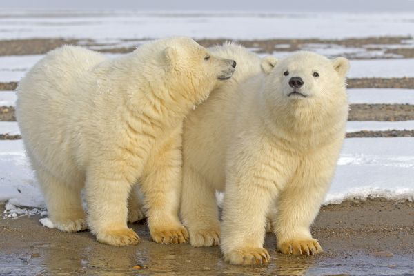 Polar Bear year old cubs Autumn