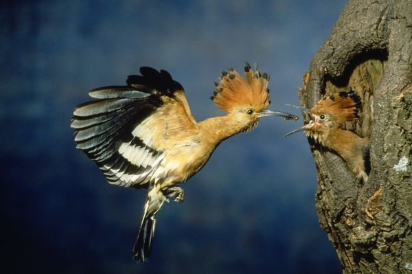 PS-4164 African Hoopoe - feeding young Upupa epops Peter Steyn Please note that prints are for personal display purposes only and may not be reproduced in any way