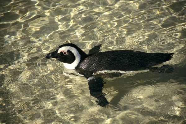 PS-8904 African Penguin - swimming Spheniscus demersus Peter Steyn Please note that prints are for personal display purposes only and may not be reproduced in any way