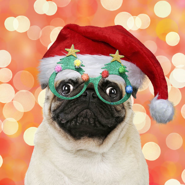 Pug dog, wearing Christmas hat and Christmas tree glasses
