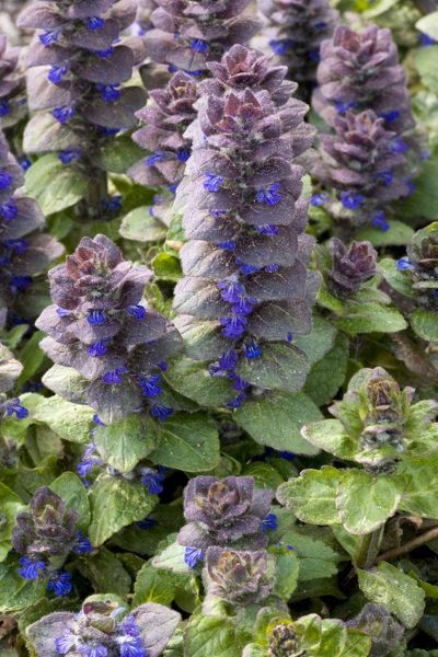 ROG-12465 Pyramidal bugle Rare in north Britain. Ajuga pyramidalis Bob Gibbons Please note that prints are for personal display purposes only and may not be reproduced in any way