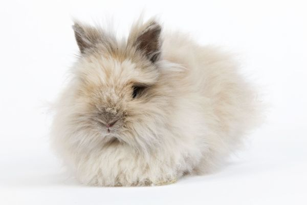 LA-6142 Rabbit - Dwarf Angora Blue and Tawny Jean-Michel Labat Please note that prints are for personal display purposes only and may not be reproduced in any way