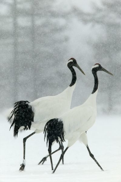 WAT-8266 Red-crowned / Japanese / Manchurian CRANE - pair displaying in snow storm Hokkaido, Japan Grus japonensis M. Watson Please note that prints are for personal display purposes only and may not be reproduced in any way