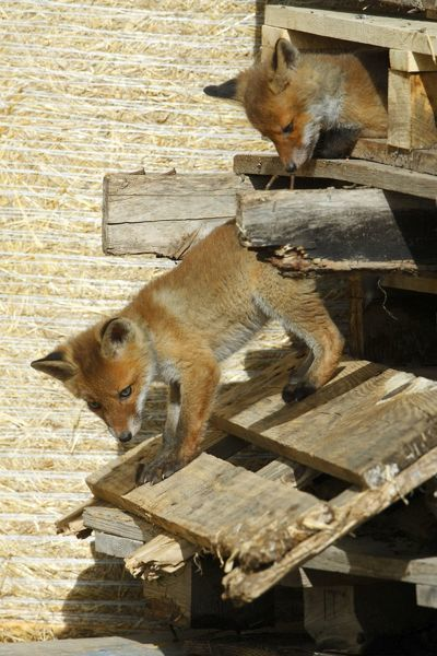 USH-4294 Red Fox - 2 cubs playing between pallets in open barn Hessen, Germany Vulpes vulpes Duncan Usher Please note that prints are for personal display purposes only and may not be reproduced in anyway
