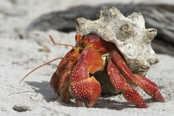 Red Hermit Crab - Emerging from its shell