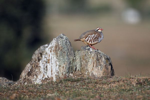 USH-4062 Red-legged Partridge - perched on stones region of Alentejo, Portugal Alectoris rufa Duncan Usher Please note that prints are for personal display purposes only and may not be reproduced in anyway