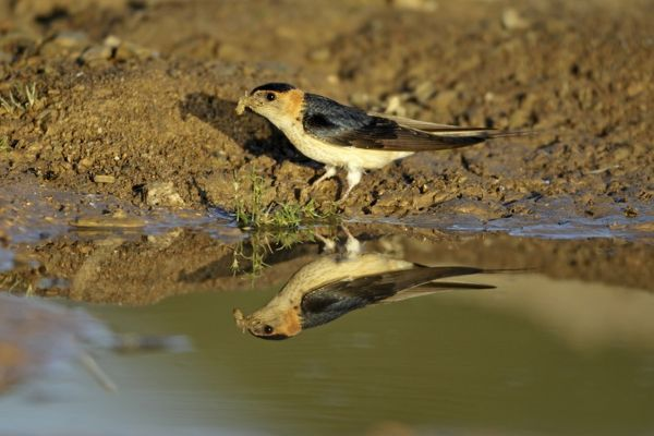 USH-4058 Red-Rumped Swallow - at puddle collecting nest material region of Alentejo, Portugal Hirundo daurica Duncan Usher Please note that prints are for personal display purposes only and may not be reproduced in anyway