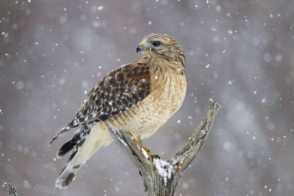 JZ-3812 Red-shouldered Hawk - adult pale male in snow January -CT - USA Buteo lineatus Jim Zipp Please note that prints are for personal display purposes only and may not be reproduced in any way