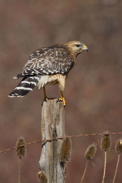 JZ-3813 Red-shouldered Hawk - female perched on fence post February -CT - USA Buteo lineatus Jim Zipp Please note that prints are for personal display purposes only and may not be reproduced in any way