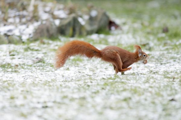 USH-4033 Red Squirrel - running across lawn in garden transporting hazel nut Lower Saxony, Germany Sciurus vulgaris Duncan Usher Please note that prints are for personal display purposes only and may not be reproduced in anyway