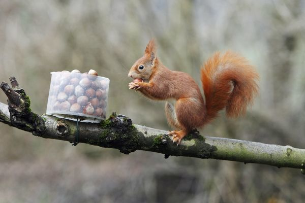 USH-4097 Red Squirrel - taking hazel nut from feeding station in garden Lower Saxony, Germany Sciurus vulgaris Duncan Usher Please note that prints are for personal display purposes only and may not be reproduced in anyway