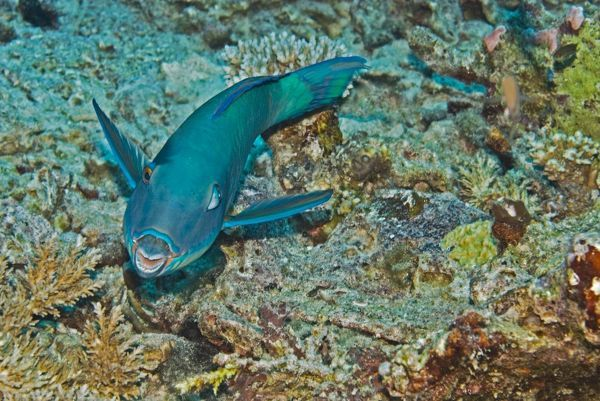VT-8857 Redtail Parrotfish - One of the most wary of parrotfishes, The terminal male is bright yellow with pink touches