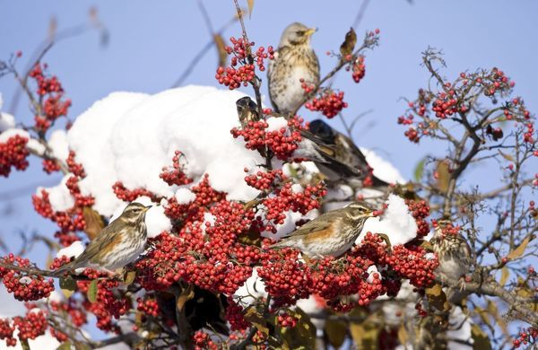RES-1090 Redwing perched on branch covered in red berries and snow UK January Turdus iliacus George Reszeter Please note that prints are for personal display purposes only and may not be reproduced in any way