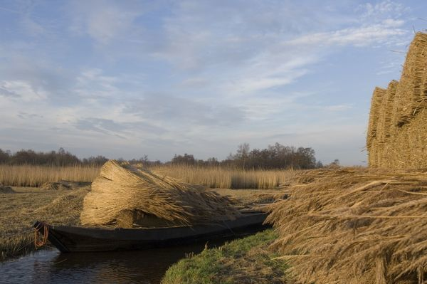 VG-1526 Reed culture The Netherlands, Overijssel, nature reserve 'The Wieden' Phragmatis australis Reed bundles are moved by boat in the fenland Paul Van Gaalen Please note that prints are for personal display purposes only and may not be reproduced