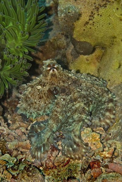 VT-8850 Reef Octopus - Not easily seen this octopus has the ability to blend into the surrounding terrian and almost become invisible Papua New Guinea Octopus sp. Valerie & Ron Taylor Please note that prints are for personal display purposes only