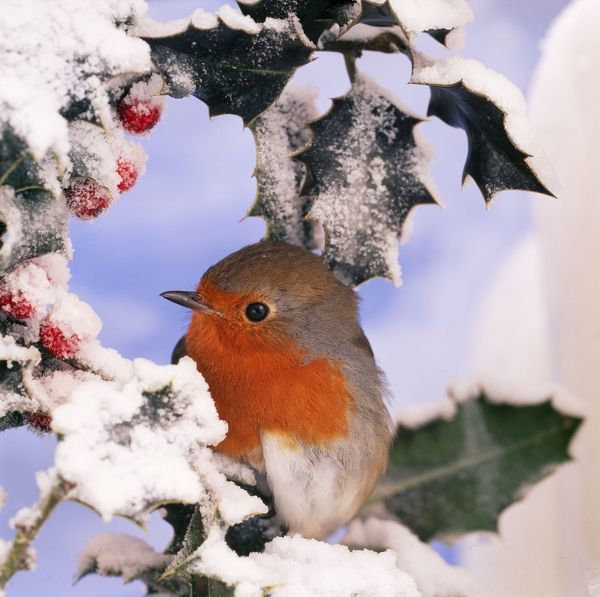 BB-676 ROBIN - in frozen Holly Erithacus rubecula Brian Bevan Please note that prints are for personal display purposes only and may not be reproduced in any way. contact details: prints@ardea.com tel: 020 8318 1401