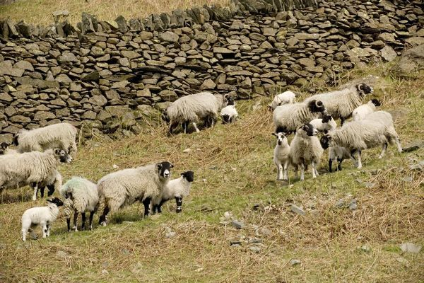 ROG-12404 Swaledale sheep, ewes and lambs in upland Lake District UK Bob Gibbons Please note that prints are for personal display purposes only and may not be reproduced in any way