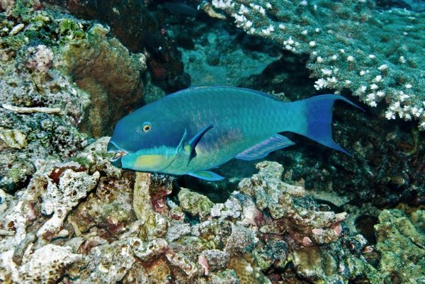 VT-8871 Parrotfish - male Papua New Guinea Scarus gibbus At night this fish sleeps in a self made mucus bubble as a protection against predators