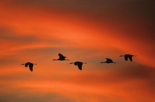 COS-1361 Sandill Cranes - in flight at dawn Bosque del Apache NWR, New Mexico, USA Grus canadensis Bill Coster Please note that prints are for personal display purposes only and may not be reproduced in any way. contact details: prints@ardea