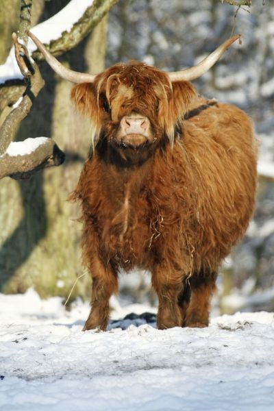 USH-3923 Scottish Highland Cow - in snow Lower Saxony, Germany Duncan Usher Please note that prints are for personal display purposes only and may not be reproduced in any way