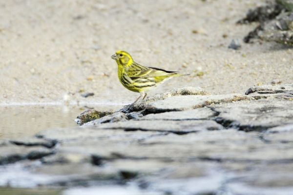 USH-4040 Serin - male drinking from river region of Alentejo, Portugal Serinus serinus Duncan Usher Please note that prints are for personal display purposes only and may not be reproduced in anyway