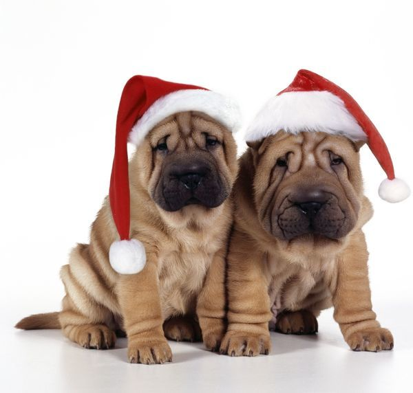 JD-17417e-m Shar Pei Dog - 2 puppies wearing Christmas hats John Daniels Please note that prints are for personal display purposes only and may not be reproduced in any way
