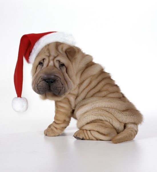 JD-17414e-m Shar Pei Dog - Puppy sitting down wearing Christmas hat John Daniels Please note that prints are for personal display purposes only and may not be reproduced in any way