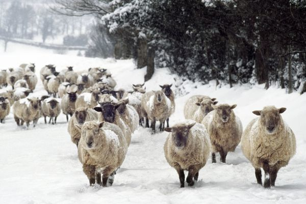 AEB-1778 Sheep - Cross Breeds in snow Herefordshire, UK Elizabeth Bomford Please note that prints are for personal display purposes only and may not be reproduced in any way