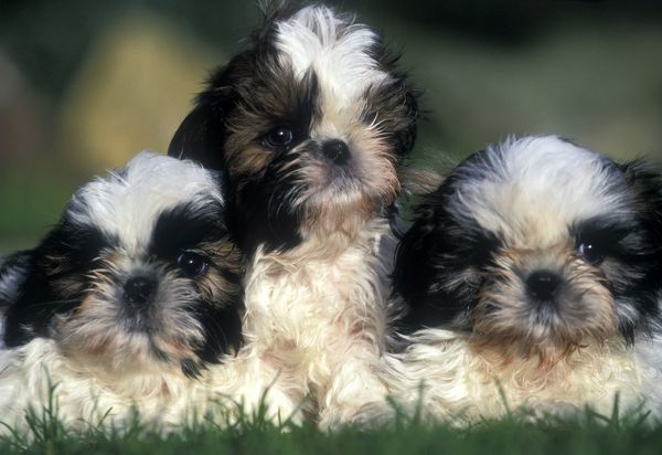 LA-1397 Shih-tzu Dogs - 3 Puppies together Jean Michel Labat Please note that prints are for personal display purposes only and may not be reproduced in any way