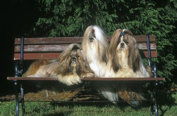 LA-1398 Shih-tzu Dogs - 3 together sitting on park bench Jean Michel Labat Please note that prints are for personal display purposes only and may not be reproduced in any way