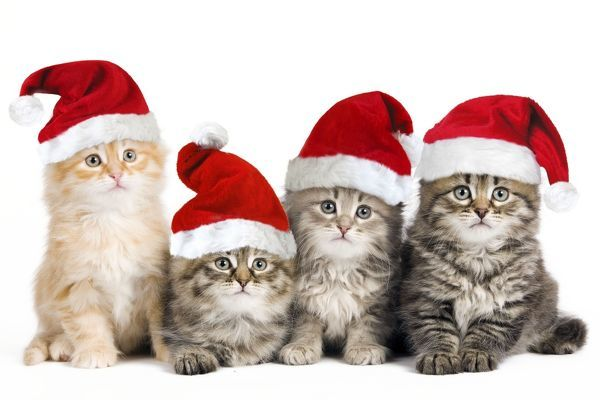 LA-10053-m Siberian Cat - kittens in Christmas hats Jean-Michel Labat Please note that prints are for personal display purposes only and may not be reproduced in anyway