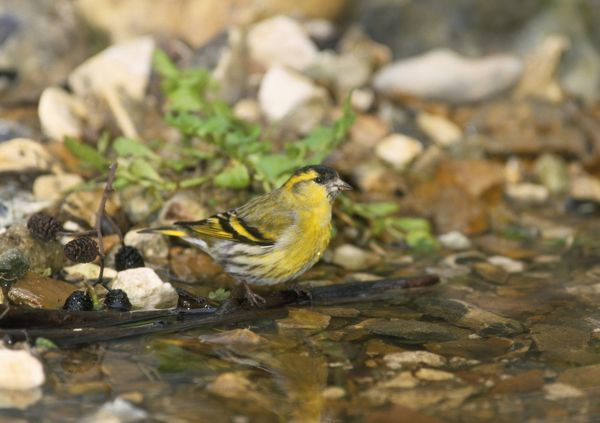 CK-2013 Siskin - male at water stream Carduelis spinus Chris Knights Please note that prints are for personal display purposes only and may not be reproduced in any way