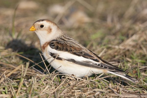 DK-216 Snow Bunting - Single adult male foraging for seed in grass Norfolk, UK Plectrophenax nivalis David Kilbey Please note that prints are for personal display purposes only and may not be reproduced in any way