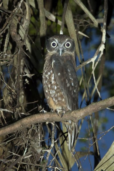 Southern Boobook Owl roosting in tropical rainforest . Atherton Tableland, Queensland, Australia. Date