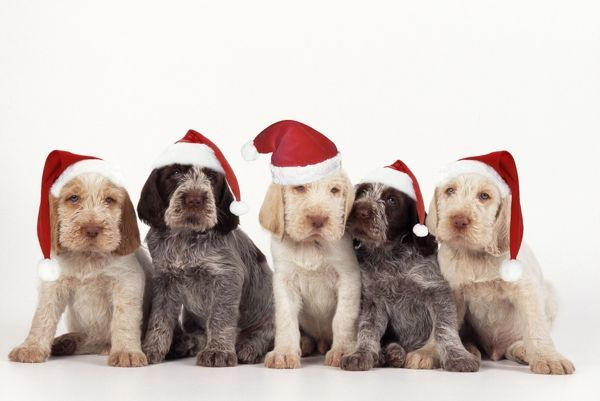 JD-15157-m Spinone Dog - puppies wearing christmas hats John Daniels Please note that prints are for personal display purposes only and may not be reproduced in any way