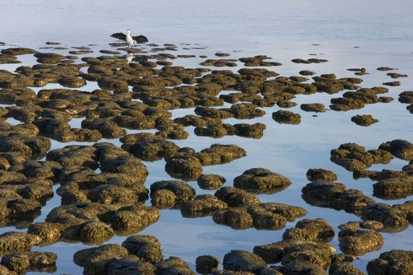 ROG-13733 Stromatolites at Hamelin Pool, Shark Bay, western Australia These are living representatives of the oldest living organisms, over 3
