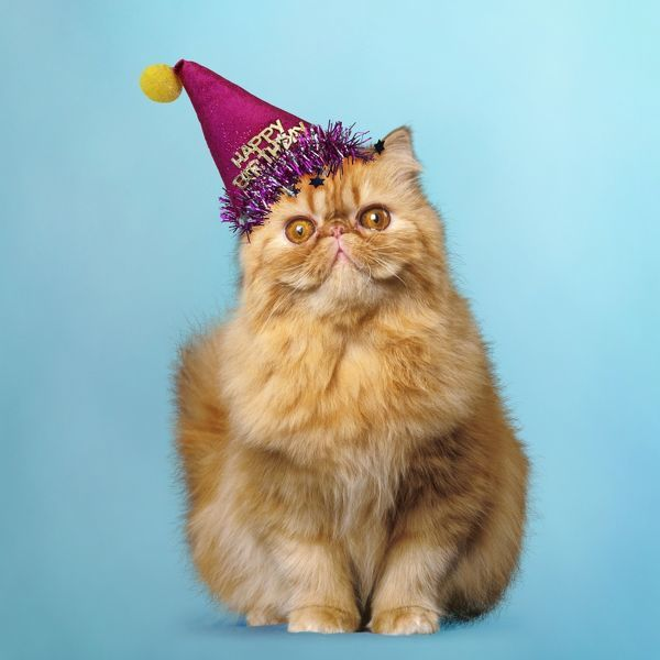 Surprised Red Persian Cat Wearing A Happy Birthday Party Hat