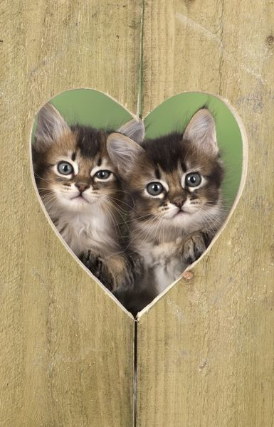 Tabby Kittens In Heart Shape Hole In Wood For Valentines Day Cat 2