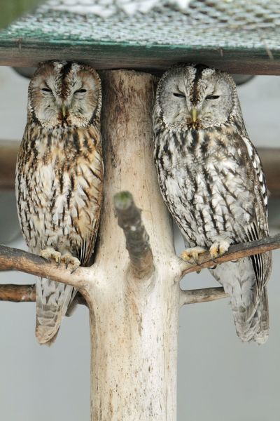 USH-4562 Tawny Owl - two resting during daytime Germany Strix aluco Duncan Usher Please note that prints are for personal display purposes only and may not be reproduced in any way