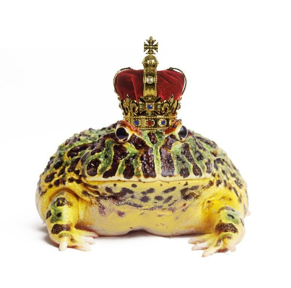 TEA-97-M Frog Prince - wearing crown Ceratophrys ornata Digitally manipulated image Andy and Clare Teare Please note that prints are for personal display purposes only and may not be reproduced in any way