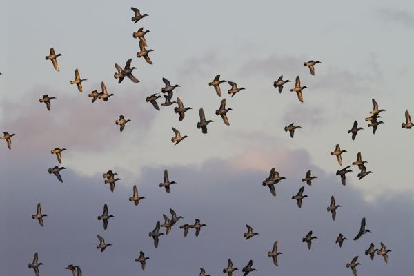 DK-252 Teal - Large flock of teal in flight catching the evening sun Gloucestershire, UK Anas crecca David Kilbey Please note that prints are for personal display purposes only and may not be reproduced in any way