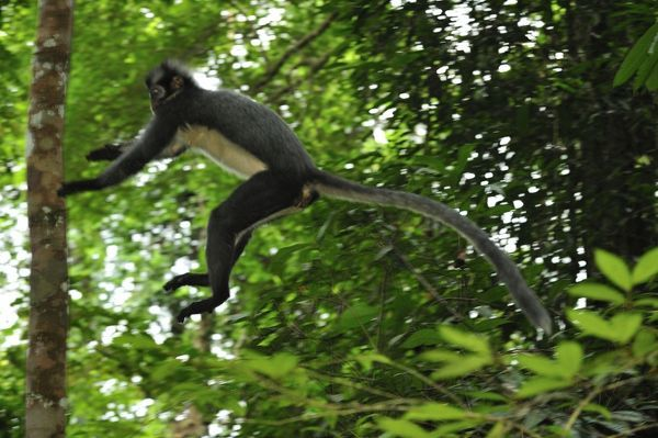 Thomas's Langur / Thomas's Leaf Monkey - jumping