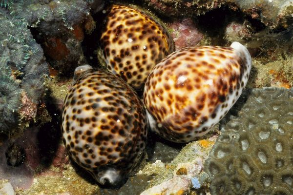 AUS-634 Tiger cowries Andaman Sea, Myanmar Cypraea tigris Dr David Wachenfeld / Auscape / ardea.com Auscape Please note that prints are for personal display purposes only and may not be reproduced in any way