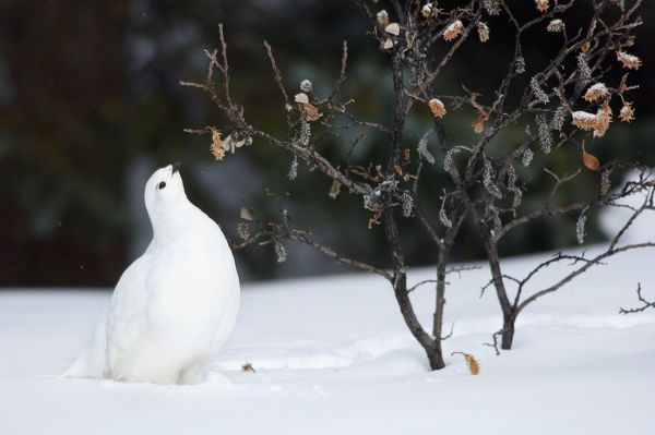 TOM-1797 White-tailed Ptarmigan - in snow eating buds and leaves off willow Jasper National Park - Rocky Mountains - Alberta - Canada Lagopus leucurus Tom & Pat Leeson Please note that prints are for personal display purposes only and may not