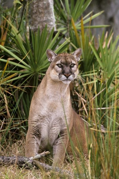 TOM-1844 Florida Cougar / Mountain Lion / Puma Florida - USA
