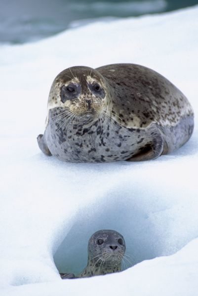 TOM-604 Common / Harbour Seal - mother with young pup on ice flow LeConte Glacier, Alaska, USA. June Phoca vitulina Females give birth on ice flows Tom & Pat Leeson