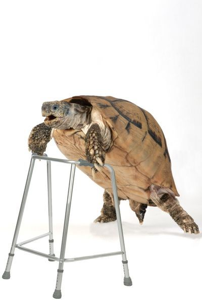 Tortoise with zimmer framce Date - Photo Prints - 10472987 - Ardea ...