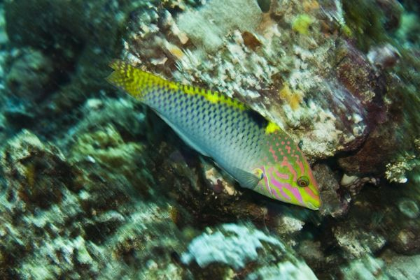 VT-8854 Tricolor Wrasse - Uncommon and hard to photograph Papua New Guinea Halichoeres hortulanus Valerie & Ron Taylor Please note that prints are for personal display purposes only and may not be reproduced in anyway