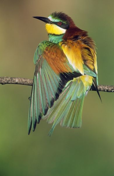 USH-2624 Bee-Eater - sunbathing Coto Donana National Park, S. Spain Merops apiaster Duncan Usher Please note that prints are for personal display purposes only and may not be reproduced in any way